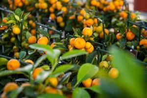 домашние цитрусовые деревья в горшках