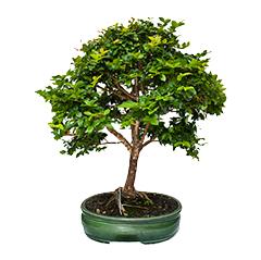 Декоративные домашние деревья